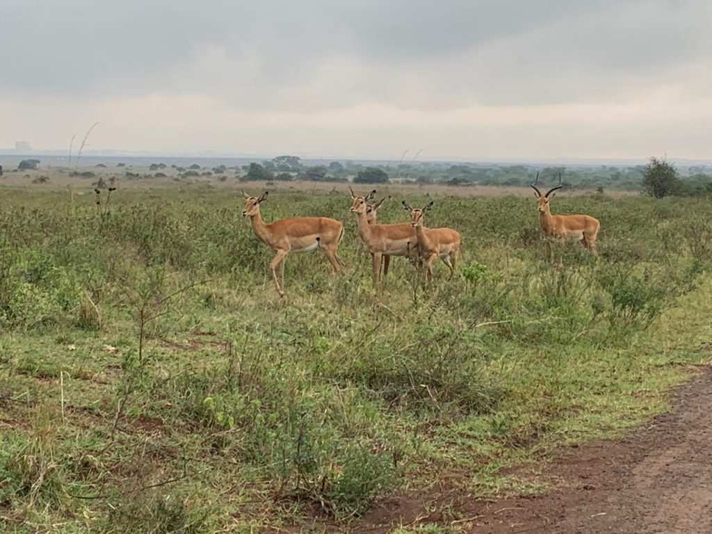 Antilopen im Nairobi Nationalpark