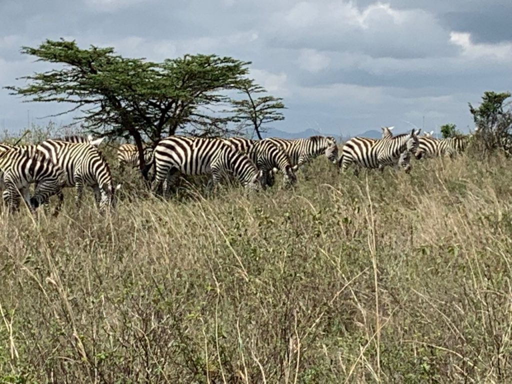 Zebras im Nairobi Nationalpark